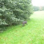 Hund nimmt Witterung auf am Gebüschrand zum Teich