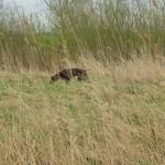 Hund sucht  vor Gebüsch in der Brachfläche